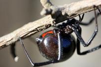 Лейкопаутинный паук